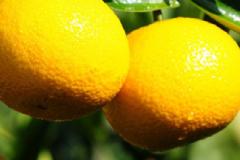 桔柚什么地方的最好?福建建阳甜橘柚的功效[图]