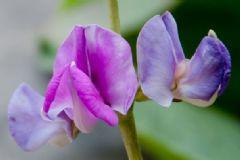 豌豆是什么颜色的花?豌豆开花是什么颜色?[多图]