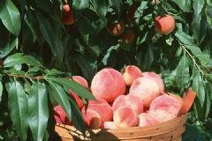 桃子的热量高吗?桃子的热量是多少?[多图]