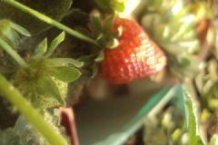 草莓怎么种?草莓阳台种植方法介绍[多图]