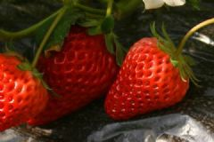 草莓什么时候上市?草莓上市时间介绍[多图]