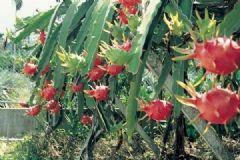 火龙果亩产量多少斤?一亩火龙果产量达到多少?[多图]
