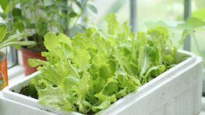 阳台怎么种生菜 注意要保持阳光充足,但生菜不要暴晒