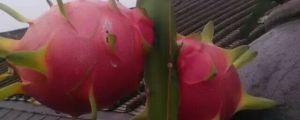 火龙果长在哪里,火龙果产地哪里