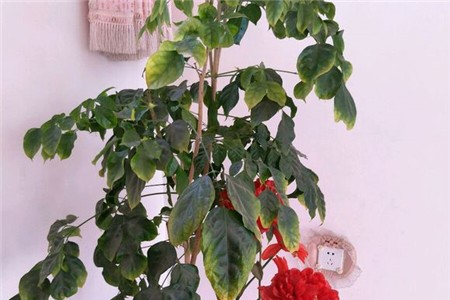 绿宝树叶子发黄图片