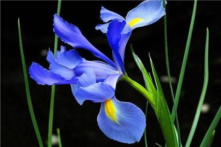 鸢尾花的叶子图片图片