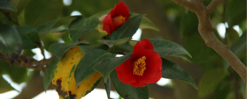 山茶花的花苞图片