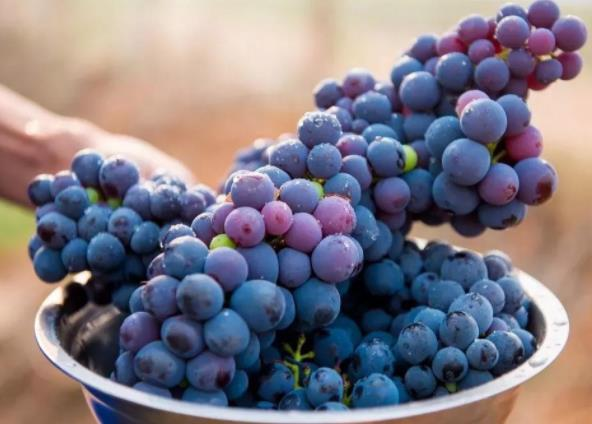 葡萄可以多吃吗?葡萄对人体有哪些影响?