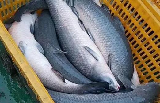 吃青鱼有哪些好处?吃青鱼需要注意什么