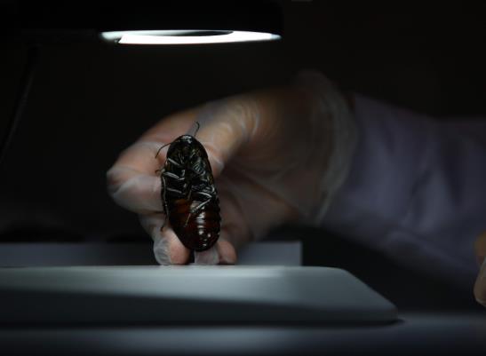蟑螂卵要怎么消灭才最彻底?蟑螂公司灭蟑螂一般要多少钱