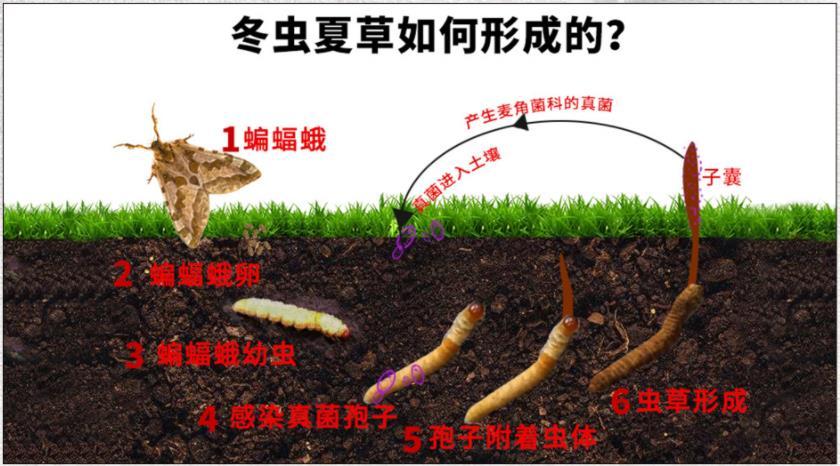 冬虫夏草的形成生长过程图片 虫草的形成过程是什么样的